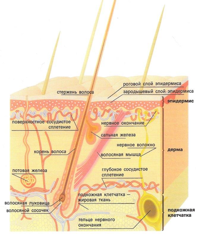 Что улучшает кровообращение кожи головы
